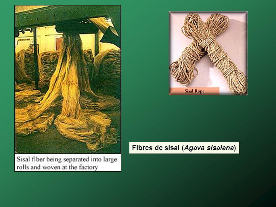 Fibres de sisal (Agava sisalana)