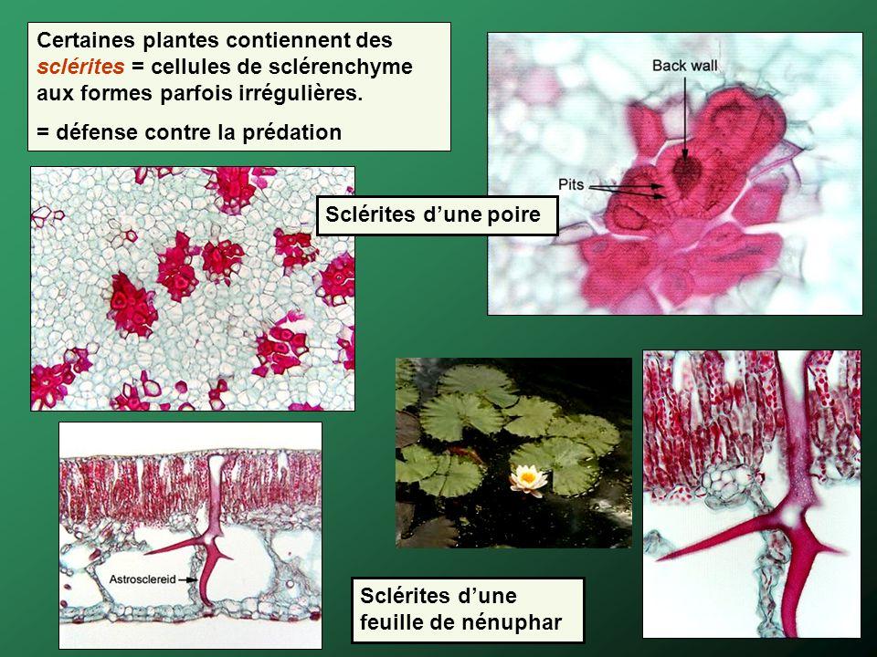 Sclérites dune feuille de nénuphar Certaines plantes contiennent des sclérites = cellules de sclérenchyme aux formes parfois irrégulières. = défense c