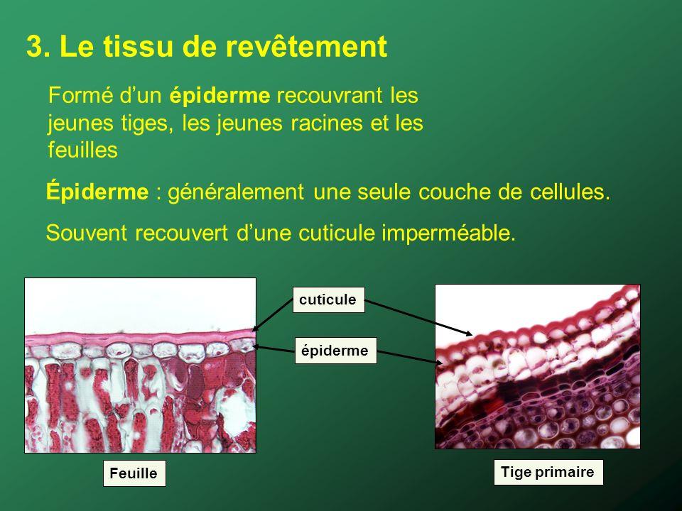 3. Le tissu de revêtement épiderme cuticule Feuille Tige primaire Épiderme : généralement une seule couche de cellules. Souvent recouvert dune cuticul