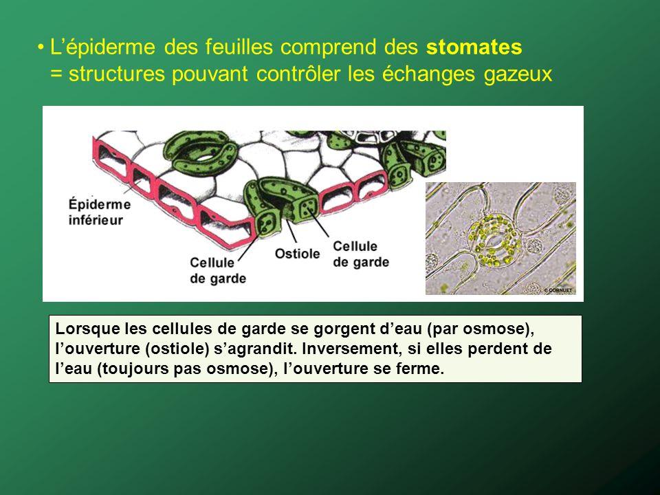 Lépiderme des feuilles comprend des stomates = structures pouvant contrôler les échanges gazeux Lorsque les cellules de garde se gorgent deau (par osmose), louverture (ostiole) sagrandit.