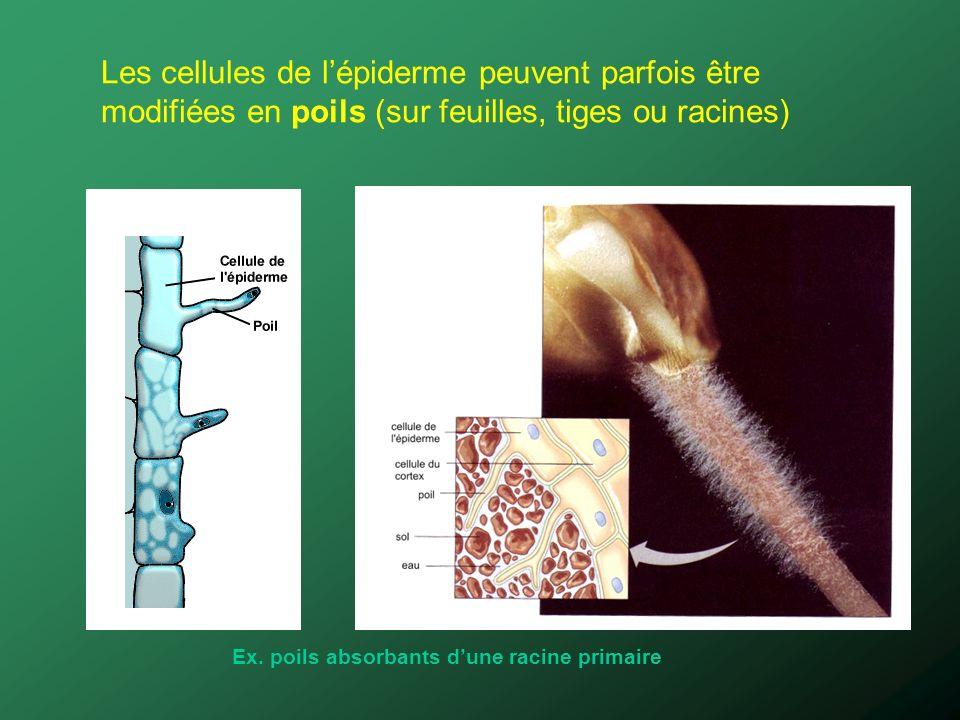 Les cellules de lépiderme peuvent parfois être modifiées en poils (sur feuilles, tiges ou racines) Ex. poils absorbants dune racine primaire