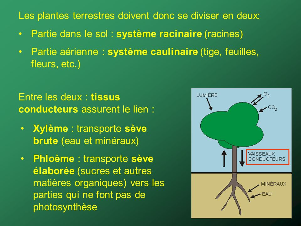 Les plantes terrestres doivent donc se diviser en deux: Partie dans le sol : système racinaire (racines) Partie aérienne : système caulinaire (tige, feuilles, fleurs, etc.) Xylème : transporte sève brute (eau et minéraux) Phloème : transporte sève élaborée (sucres et autres matières organiques) vers les parties qui ne font pas de photosynthèse Entre les deux : tissus conducteurs assurent le lien :