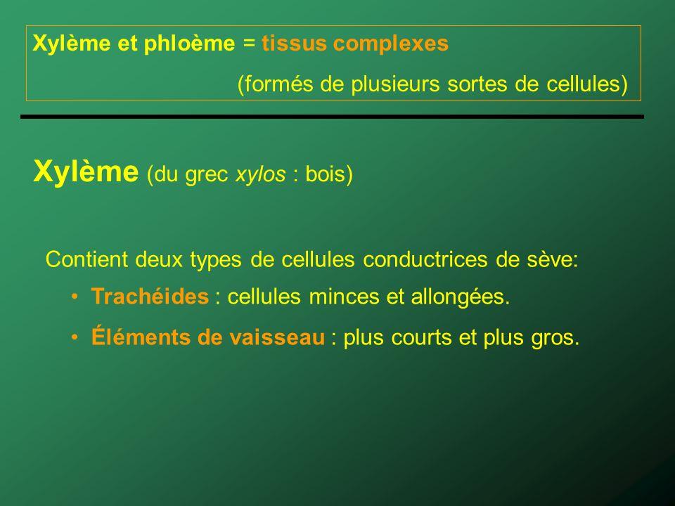 Xylème et phloème = tissus complexes (formés de plusieurs sortes de cellules) Xylème (du grec xylos : bois) Contient deux types de cellules conductrices de sève: Trachéides : cellules minces et allongées.