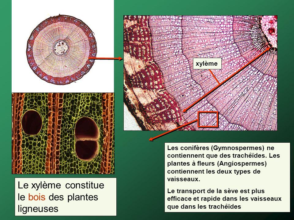xylème Les conifères (Gymnospermes) ne contiennent que des trachéïdes. Les plantes à fleurs (Angiospermes) contiennent les deux types de vaisseaux. Le