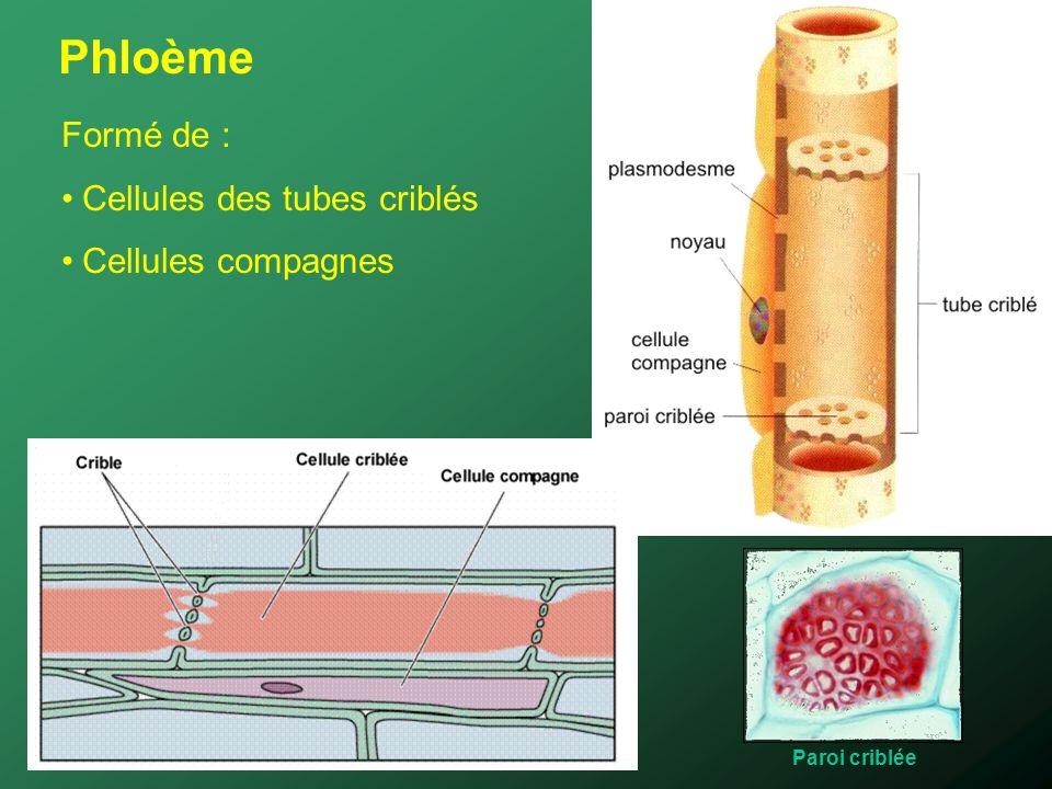 Phloème Formé de : Cellules des tubes criblés Cellules compagnes Paroi criblée