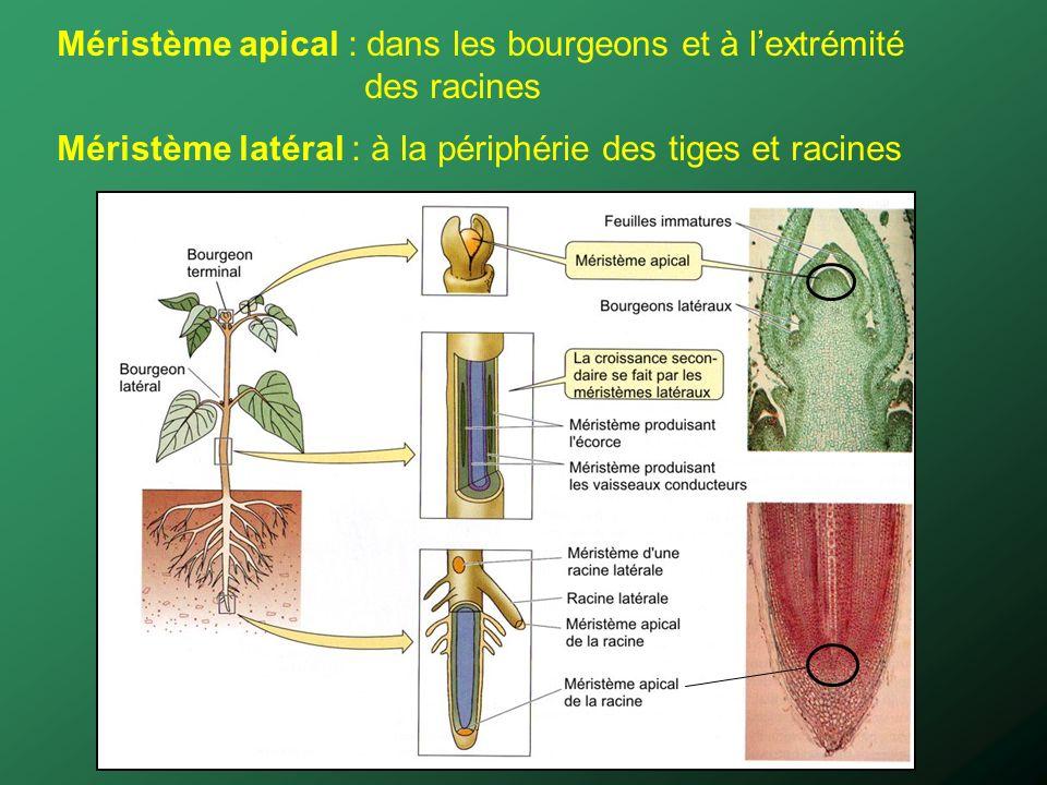 Méristème apical : dans les bourgeons et à lextrémité des racines Méristème latéral : à la périphérie des tiges et racines