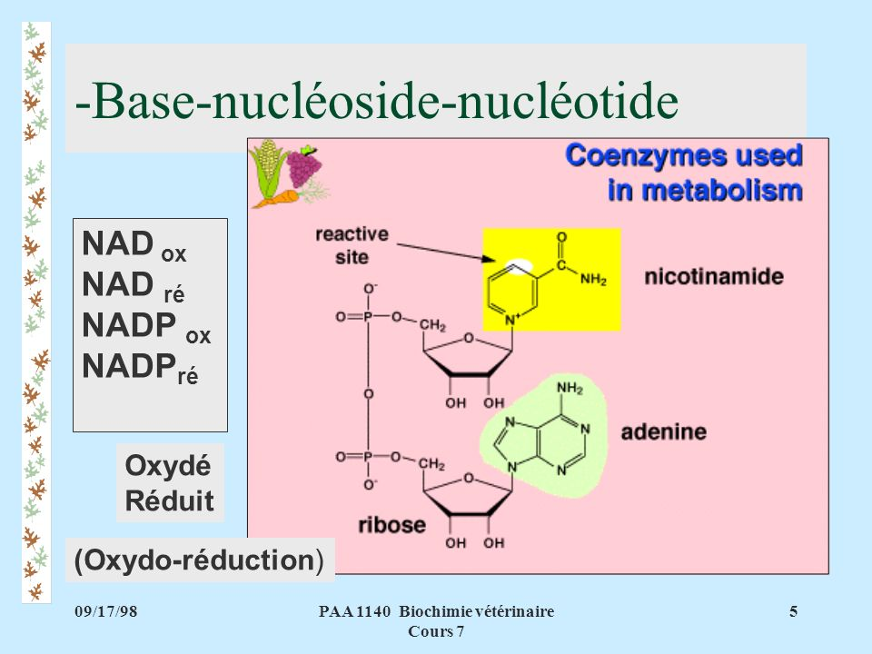 09/17/985PAA 1140 Biochimie vétérinaire Cours 7 -Base-nucléoside-nucléotide NAD ox NAD ré NADP ox NADP ré (Oxydo-réduction) Oxydé Réduit