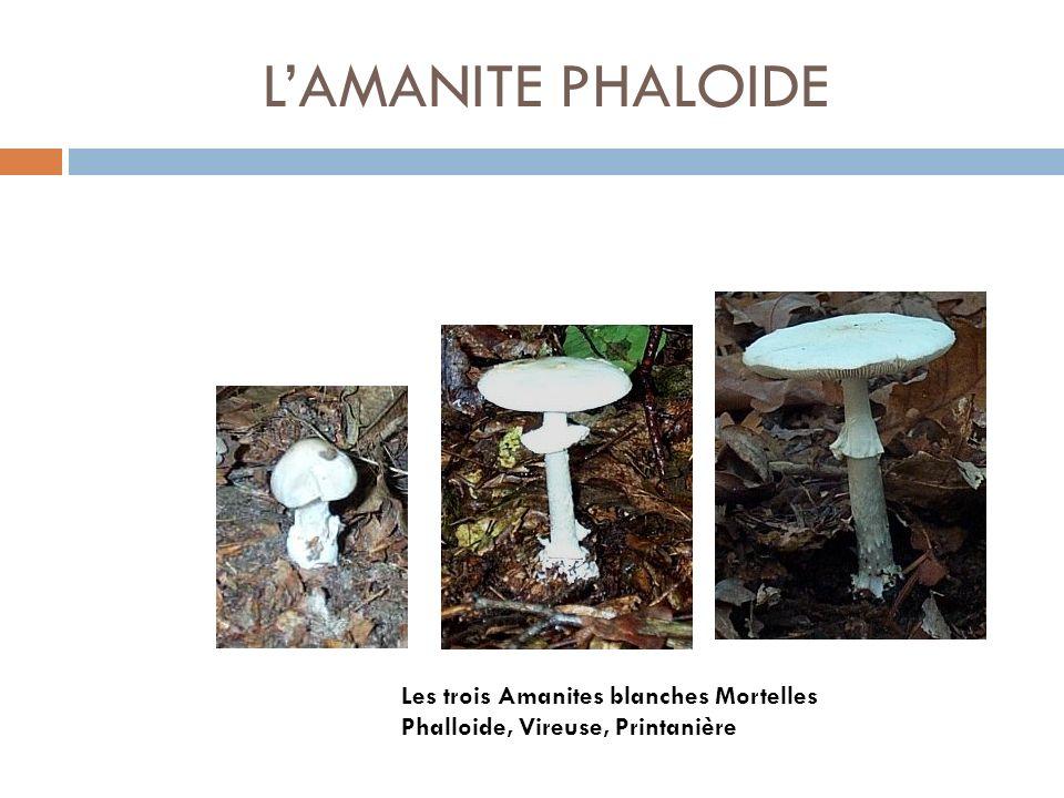 LAMANITE PHALOIDE Les trois Amanites blanches Mortelles Phalloide, Vireuse, Printanière
