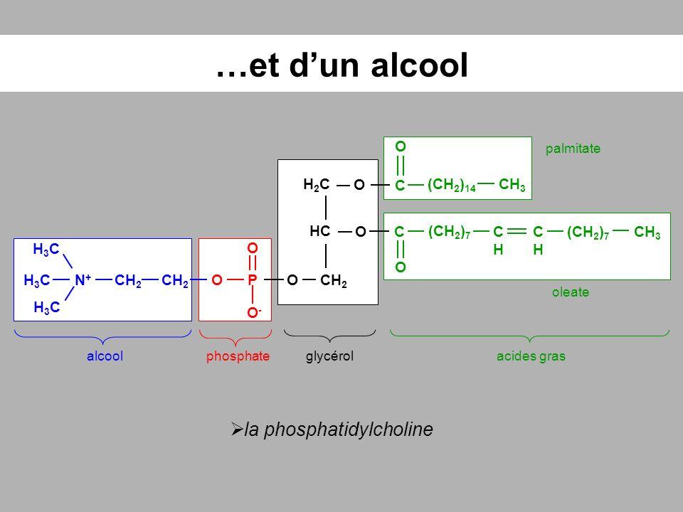 …et dun alcool glycérolacides grasphosphatealcool HC O H2CH2C CH 2 O O-O- H3CH3C CH 3 (CH 2 ) 14 CHCH (CH 2 ) 7 CHCH O OPN+N+ C O H3CH3C H3CH3C C O O