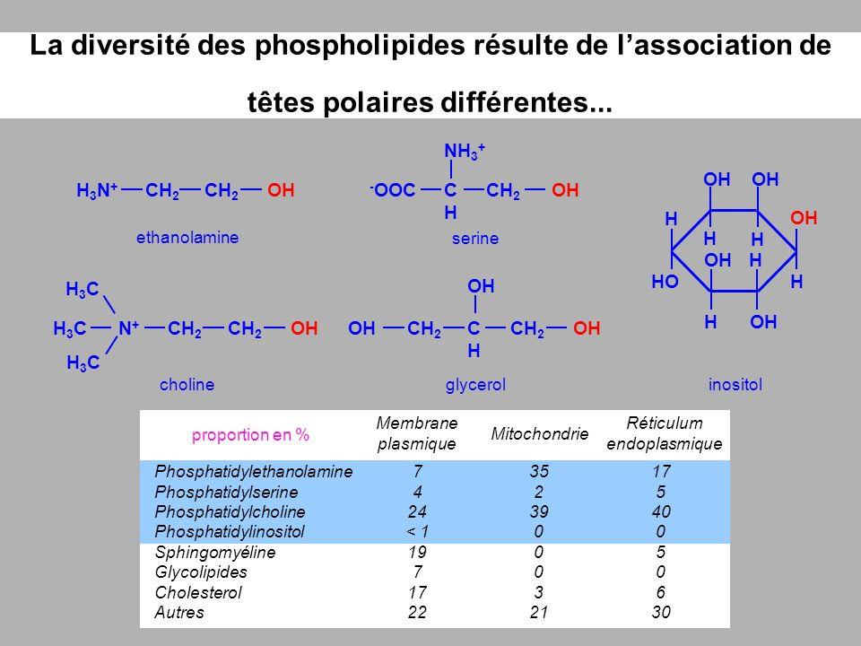 La diversité des phospholipides résulte de lassociation de têtes polaires différentes... choline CH 2 H3CH3COHN+N+ H3CH3C H3CH3C ethanolamine CH 2 OHH