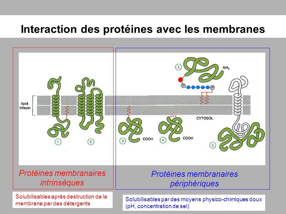 Interaction des protéines avec les membranes Protéines membranaires intrinsèques Protéines membranaires périphériques Solubilisables après destruction