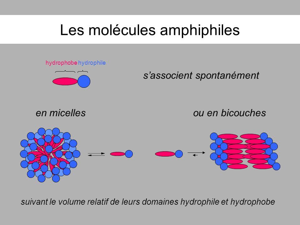 Les molécules amphiphiles hydrophobehydrophile sassocient spontanément en micellesou en bicouches suivant le volume relatif de leurs domaines hydrophi