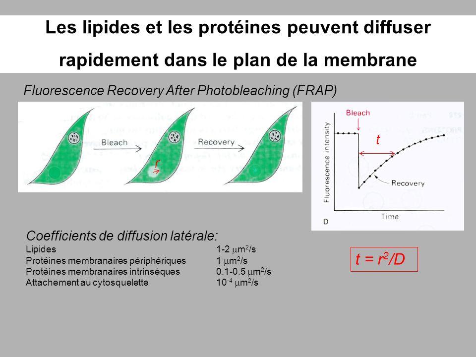 Les lipides et les protéines peuvent diffuser rapidement dans le plan de la membrane Fluorescence Recovery After Photobleaching (FRAP) Coefficients de