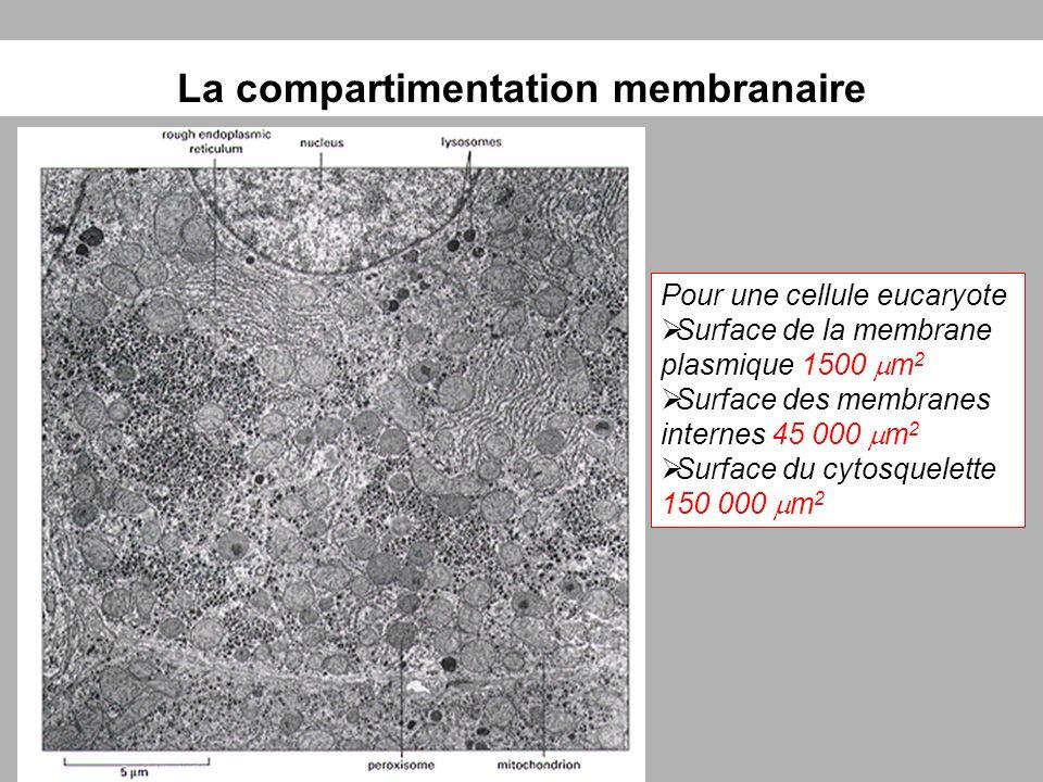 La compartimentation membranaire Pour une cellule eucaryote Surface de la membrane plasmique 1500 m 2 Surface des membranes internes 45 000 m 2 Surfac