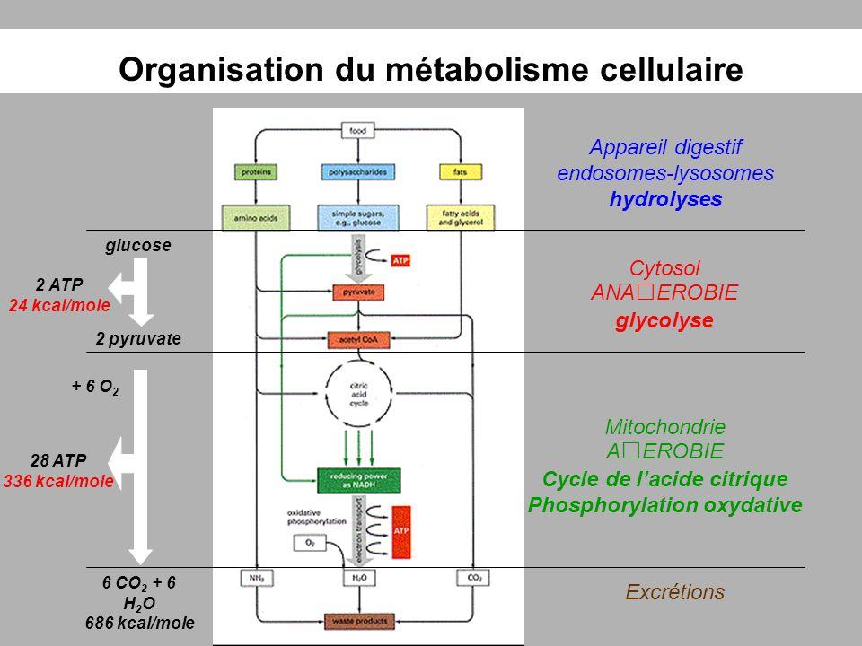 Organisation du métabolisme cellulaire Appareil digestif endosomes-lysosomes hydrolyses Cytosol ANAEROBIE glycolyse Mitochondrie AEROBIE Cycle de laci