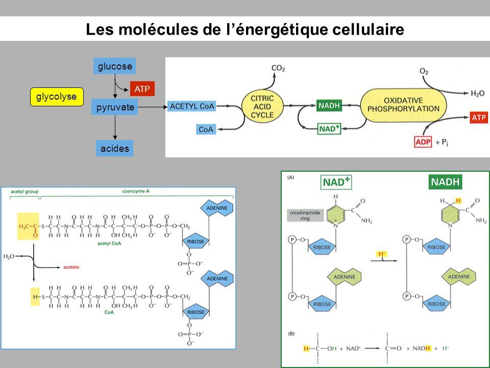 Les molécules de lénergétique cellulaire glucose pyruvate glycolyse acides ATP