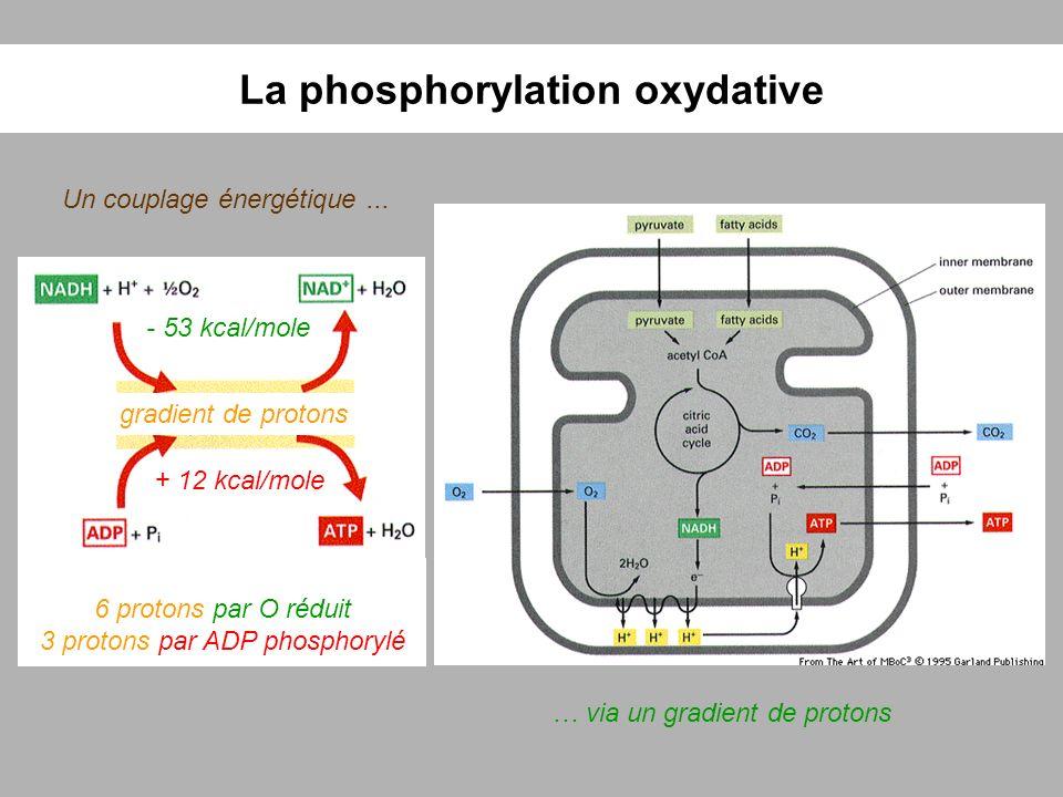 La phosphorylation oxydative Un couplage énergétique... … via un gradient de protons gradient de protons - 53 kcal/mole + 12 kcal/mole 6 protons par O