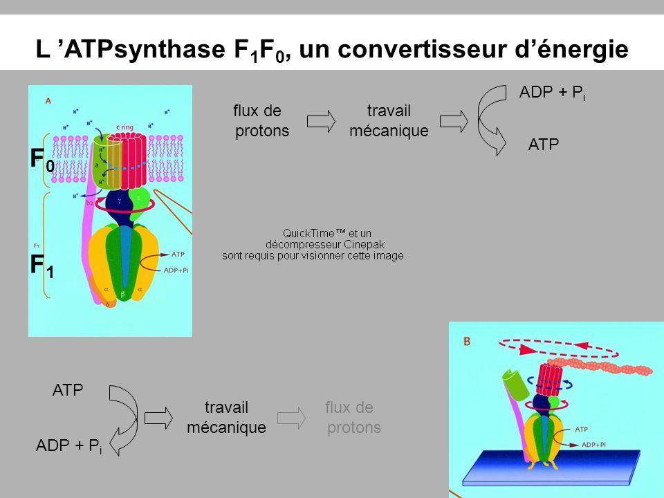 ATP ADP + P i travail mécanique flux de protons L ATPsynthase F 1 F 0, un convertisseur dénergie F0F0 F1F1 ATP ADP + P i travail mécanique flux de pro