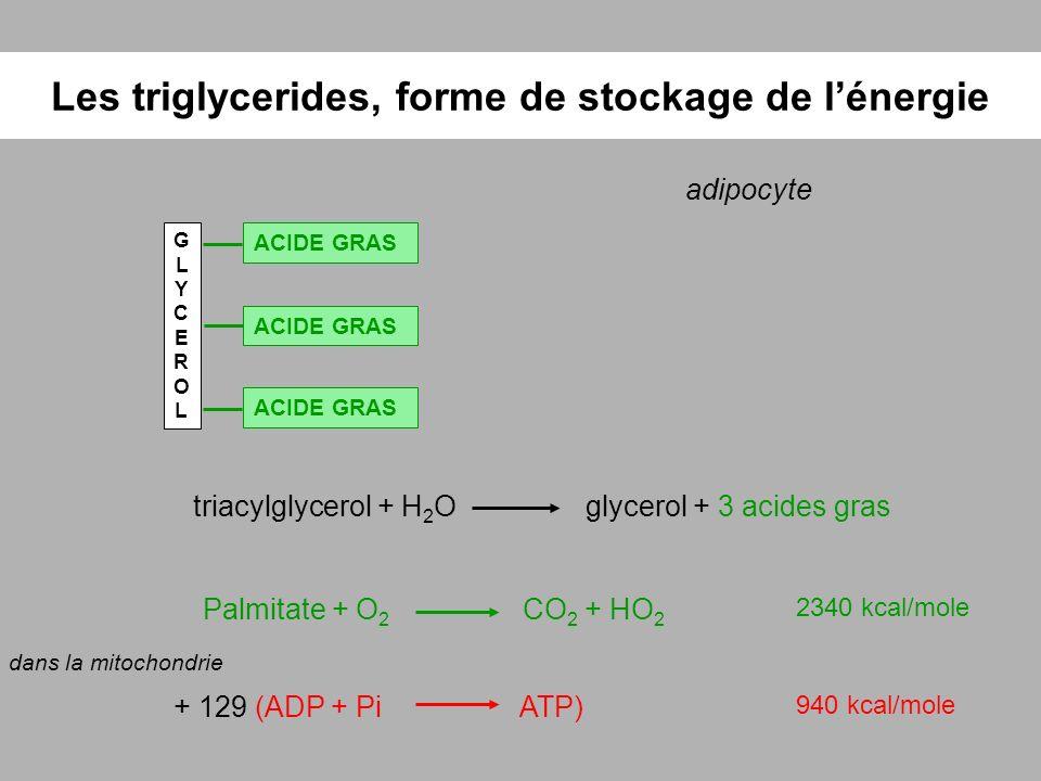 Les triglycerides, forme de stockage de lénergie adipocyte GLYCEROLGLYCEROL ACIDE GRAS triacylglycerol + H 2 Oglycerol + 3 acides gras Palmitate + O 2
