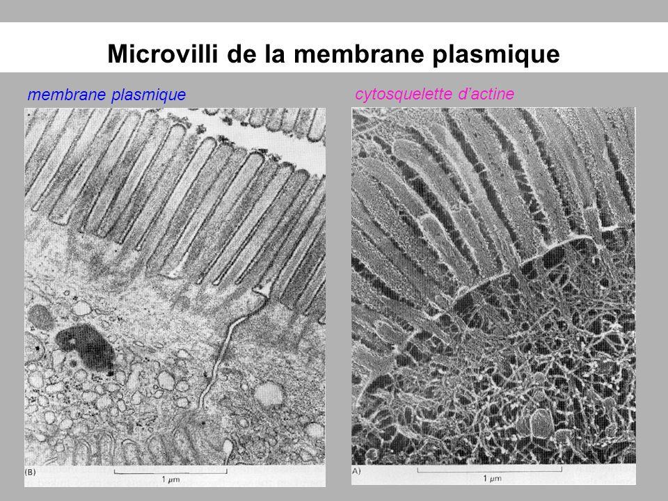 Microvilli de la membrane plasmique membrane plasmique cytosquelette dactine
