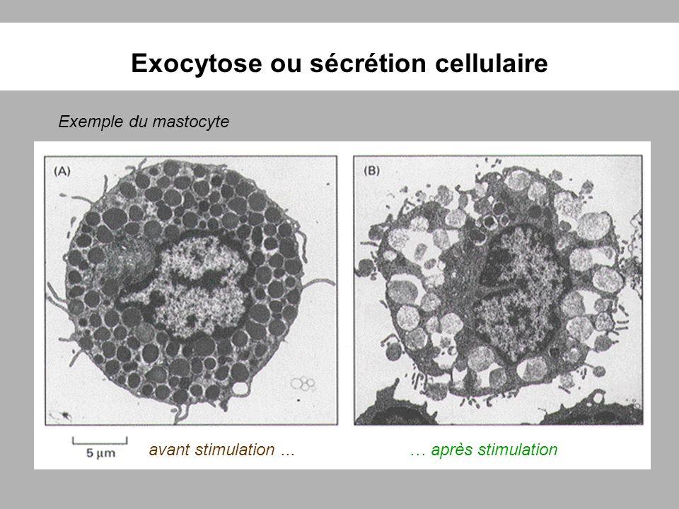 Exocytose ou sécrétion cellulaire Exemple du mastocyte avant stimulation...… après stimulation