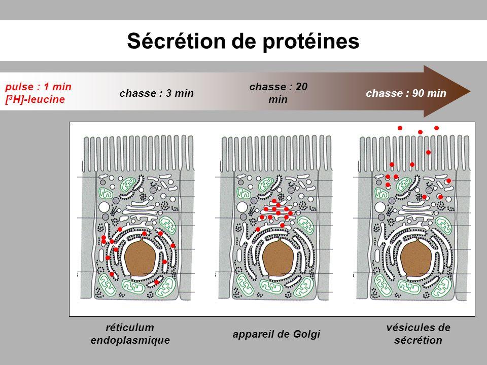 Sécrétion de protéines réticulum endoplasmique pulse : 1 min [ 3 H]-leucine chasse : 3 min chasse : 20 min chasse : 90 min appareil de Golgi vésicules