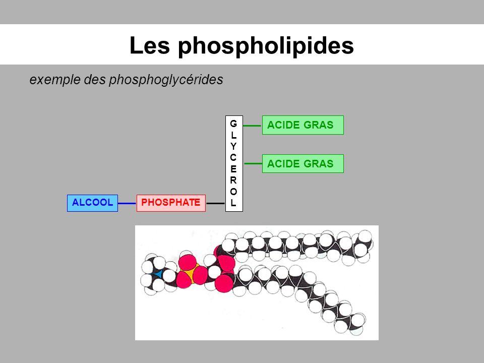 Les phospholipides exemple des phosphoglycérides GLYCEROLGLYCEROL ACIDE GRAS PHOSPHATEALCOOL