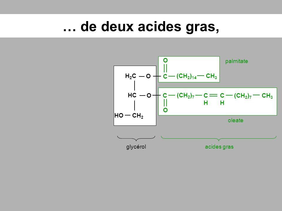 … de deux acides gras, glycérolacides gras HC O H2CH2C CH 2 O CH 3 (CH 2 ) 14 CHCH (CH 2 ) 7 CHCH C O C O HO palmitate oleate
