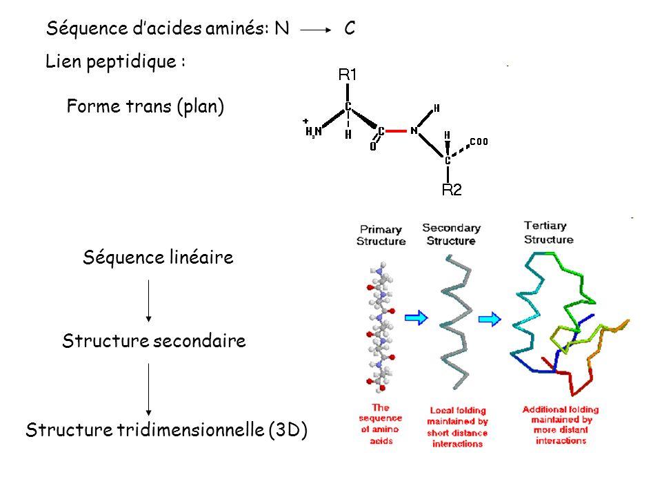 Séquence dacides aminés: N C Lien peptidique : Forme trans (plan) Séquence linéaire Structure secondaire Structure tridimensionnelle (3D)