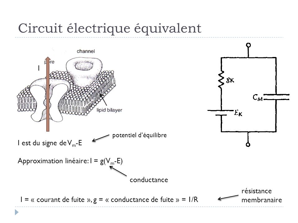 Circuit électrique équivalent I I est du signe de V m -E Approximation linéaire: I = g(V m -E) potentiel déquilibre conductance I = « courant de fuite », g = « conductance de fuite » = 1/R résistance membranaire