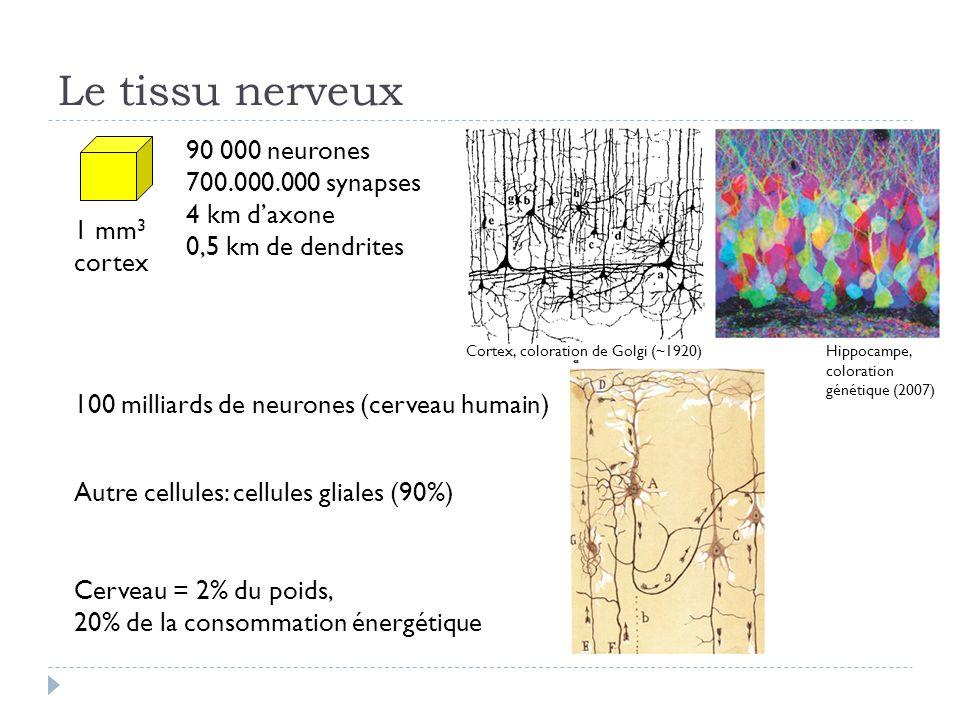 Le tissu nerveux 90 000 neurones 700.000.000 synapses 4 km daxone 0,5 km de dendrites 1 mm 3 cortex 100 milliards de neurones (cerveau humain) Cerveau = 2% du poids, 20% de la consommation énergétique Autre cellules: cellules gliales (90%) Cortex, coloration de Golgi (~1920)Hippocampe, coloration génétique (2007)