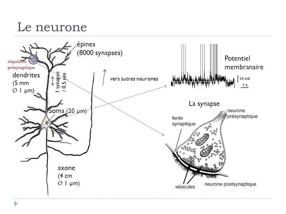Le neurone dendrites (5 mm Ø 1 µm) épines (8000 synapses) Soma (20 µm) axone (4 cm Ø 1 µm) 1 synapse / 0,5 µ m impulsion présynaptique vers autres neurones La synapse Potentiel membranaire