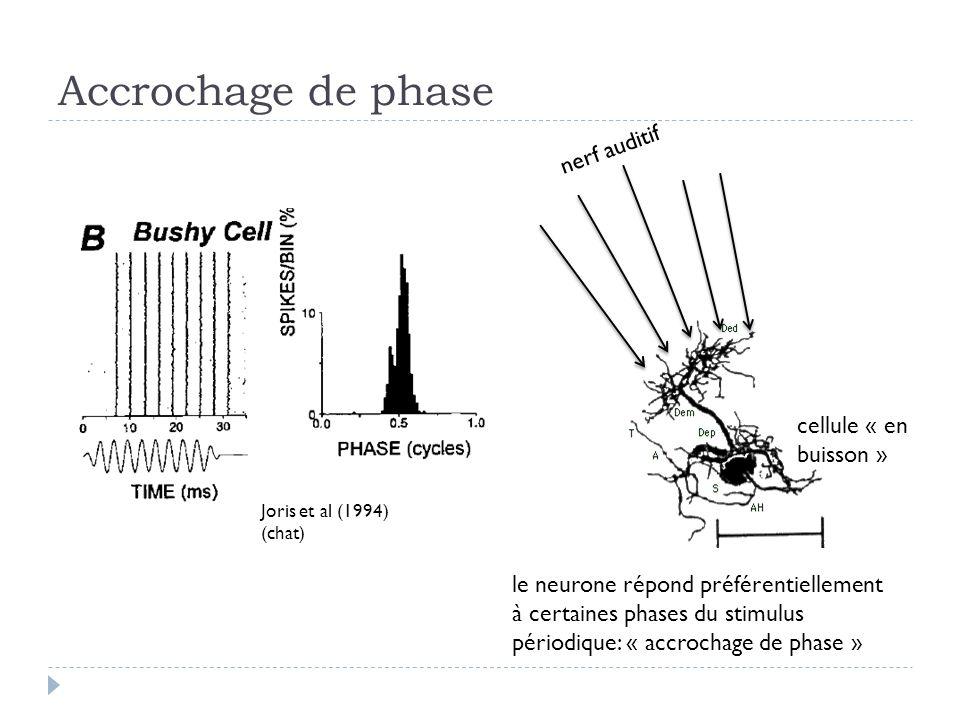 Accrochage de phase Joris et al (1994) (chat) le neurone répond préférentiellement à certaines phases du stimulus périodique: « accrochage de phase » nerf auditif cellule « en buisson »