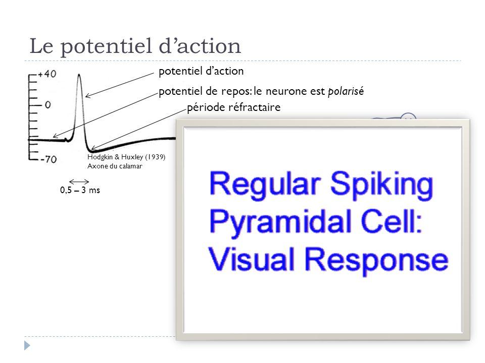 Le potentiel daction Hodgkin & Huxley (1939) Axone du calamar potentiel daction potentiel de repos: le neurone est polarisé période réfractaire 0,5 – 3 ms V Potentiel membranaire V m =V int -V ext