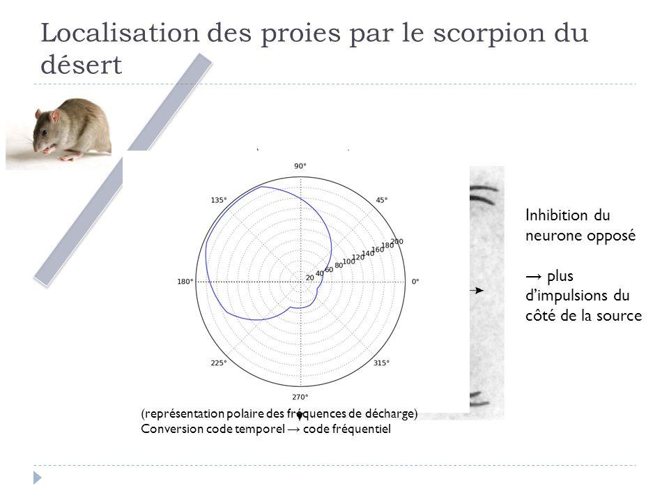 Localisation des proies par le scorpion du désert Inhibition du neurone opposé plus dimpulsions du côté de la source (représentation polaire des fréquences de décharge) Conversion code temporel code fréquentiel