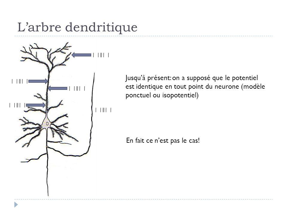 Larbre dendritique Jusquà présent: on a supposé que le potentiel est identique en tout point du neurone (modèle ponctuel ou isopotentiel) En fait ce nest pas le cas!