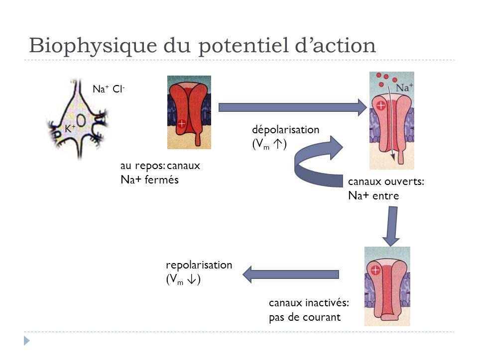 Biophysique du potentiel daction dépolarisation (V m ) Na + Cl - K+K+ canaux ouverts: Na+ entre canaux inactivés: pas de courant au repos: canaux Na+ fermés repolarisation (V m )