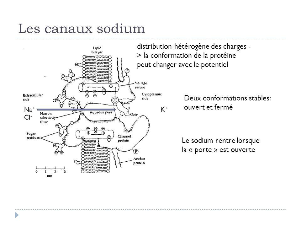 Les canaux sodium Na + Cl - K+K+ distribution hétérogène des charges - > la conformation de la protéine peut changer avec le potentiel Le sodium rentre lorsque la « porte » est ouverte Deux conformations stables: ouvert et fermé