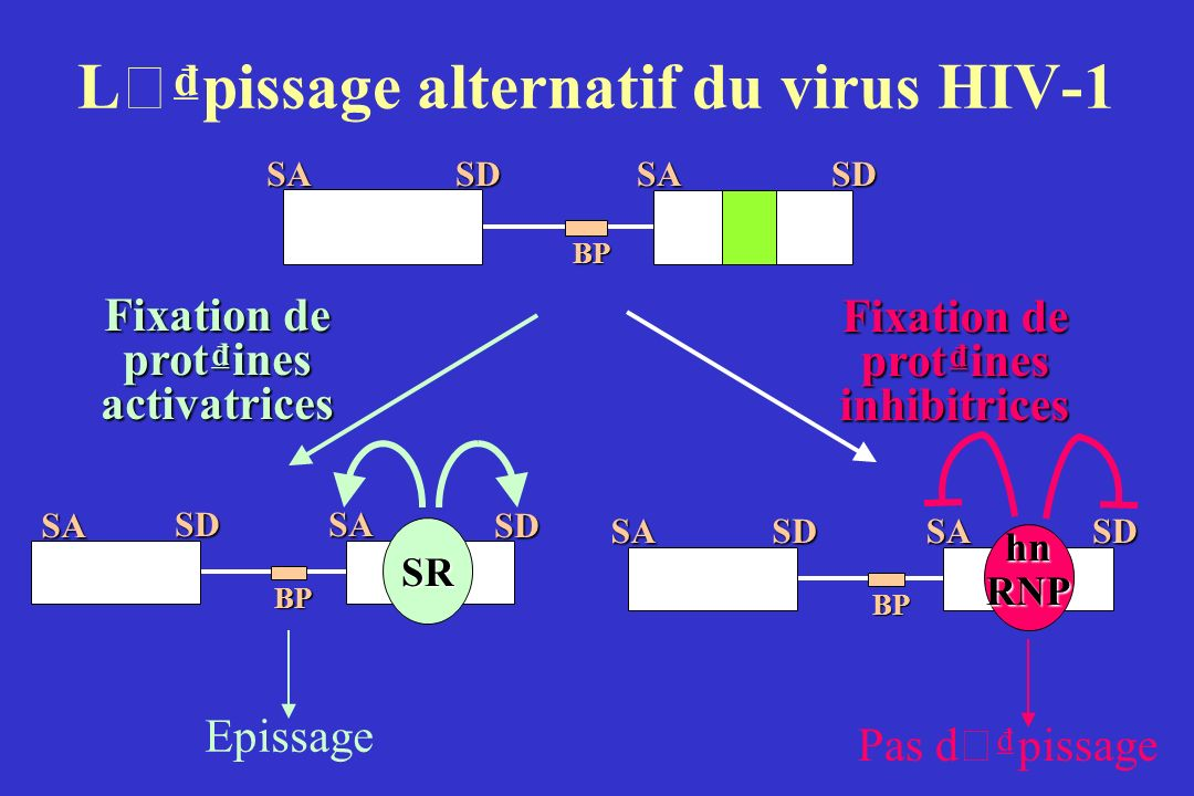L ' pissage alternatif du virus HIV-1SDSABPSDSA SDSA SDSA BP Epissage Fixation de protines activatrices SR SASDSA BP SD Pas d ' pissage Fixation de pr