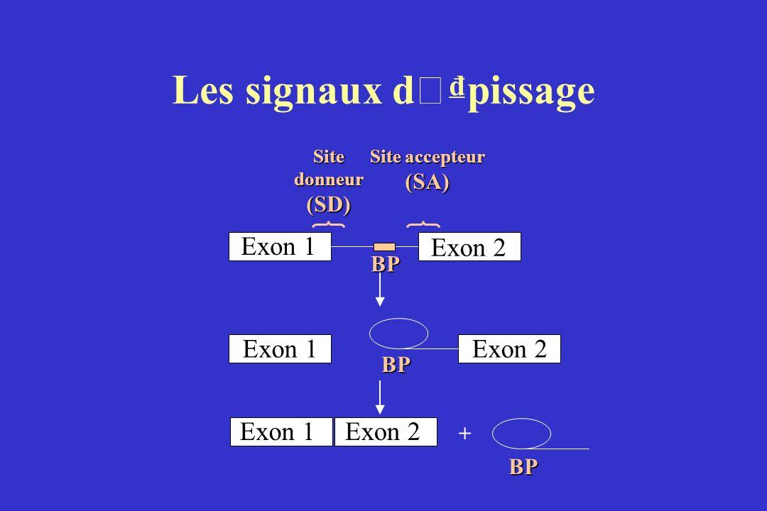 Les signaux d ' pissage Exon 2 Exon 1 Site donneur (SD) Site accepteur (SA) BP Exon 2Exon 1 BP Exon 2 + BP