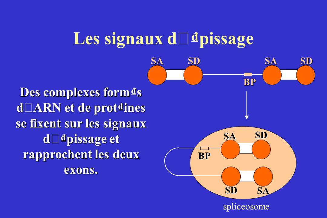 Les signaux d ' pissage Des complexes forms d ' ARN et de protines se fixent sur les signaux d ' pissage et rapprochent les deux exons.