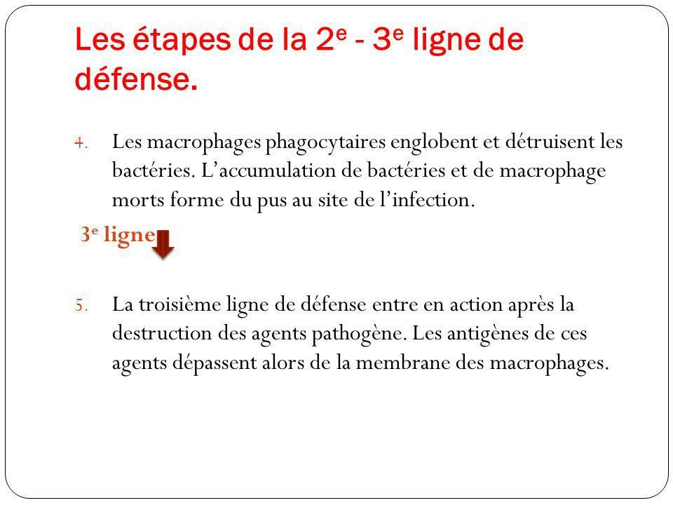 Les étapes de la 2 e - 3 e ligne de défense. 4. Les macrophages phagocytaires englobent et détruisent les bactéries. Laccumulation de bactéries et de
