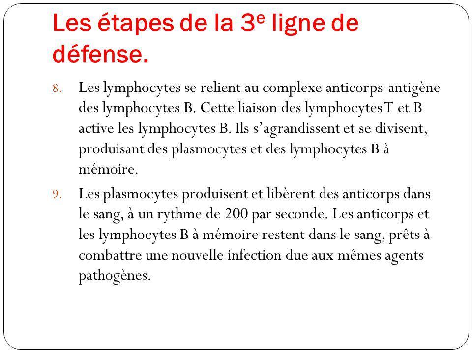 Les étapes de la 3 e ligne de défense. 8. Les lymphocytes se relient au complexe anticorps-antigène des lymphocytes B. Cette liaison des lymphocytes T