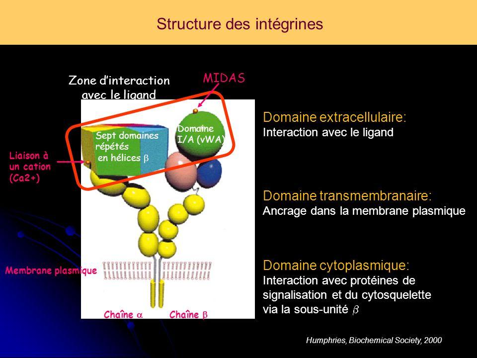 Structure des intégrines Chaîne Domaine I/A (vWA) Membrane plasmique Sept domaines répétés en hélices Liaison à un cation (Ca2+) MIDAS Zone dinteraction avec le ligand Humphries, Biochemical Society, 2000 Domaine transmembranaire: Ancrage dans la membrane plasmique Domaine cytoplasmique: Interaction avec protéines de signalisation et du cytosquelette via la sous-unité Domaine extracellulaire: Interaction avec le ligand