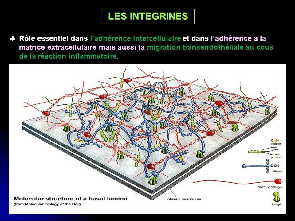 Rôle essentiel dans ladhérence intercellulaire et dans ladhérence a la matrice extracellulaire mais aussi la migration transendothéliale au cous de la
