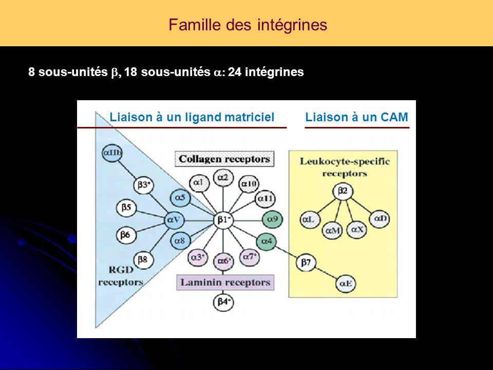 Famille des intégrines Hynes, Cell, 2002 8 sous-unités 18 sous-unités 24 intégrines Liaison à un ligand matricielLiaison à un CAM