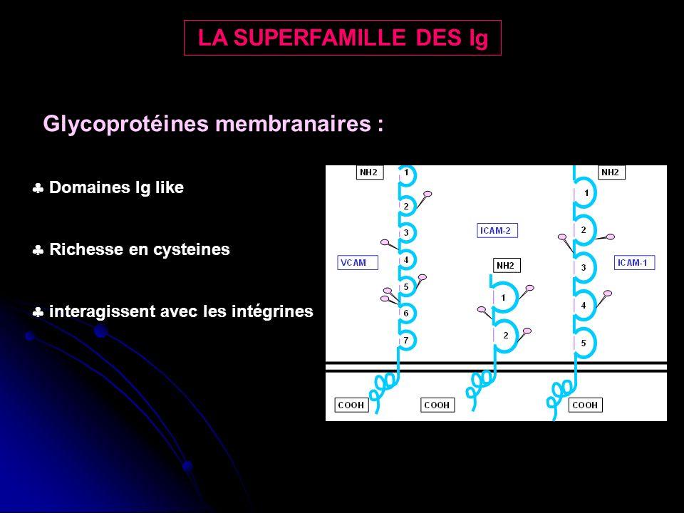 LA SUPERFAMILLE DES Ig Glycoprotéines membranaires : Domaines Ig like Richesse en cysteines interagissent avec les intégrines