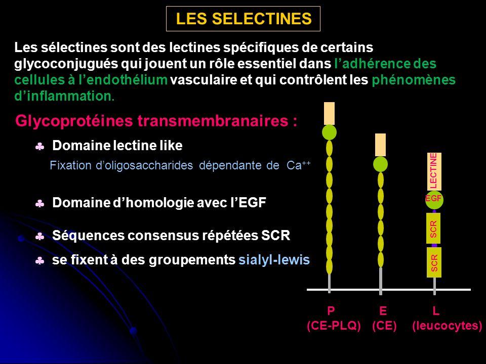Glycoprotéines transmembranaires : Domaine lectine like Fixation doligosaccharides dépendante de Ca ++ Domaine dhomologie avec lEGF Séquences consensus répétées SCR se fixent à des groupements sialyl-lewis LECTINE EGF SCR P (CE-PLQ) E (CE) L (leucocytes) LES SELECTINES Les sélectines sont des lectines spécifiques de certains glycoconjugués qui jouent un rôle essentiel dans ladhérence des cellules à lendothélium vasculaire et qui contrôlent les phénomènes dinflammation.