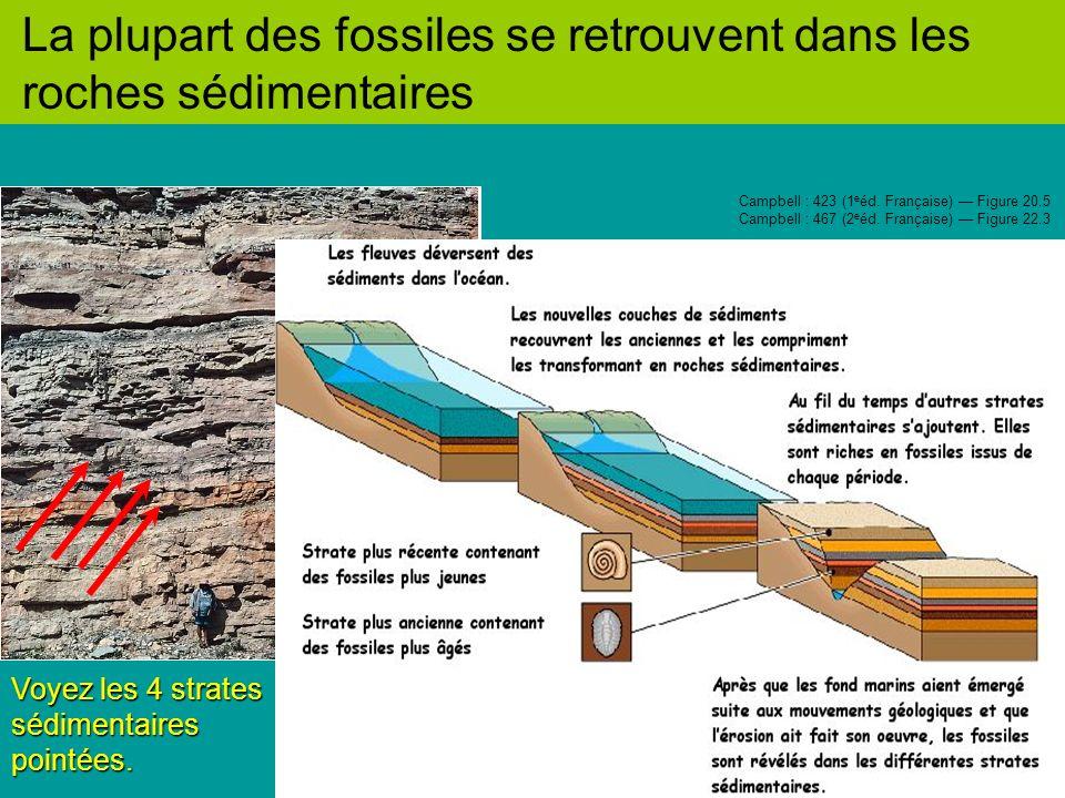 La plupart des fossiles se retrouvent dans les roches sédimentaires Voyez les 4 strates sédimentaires pointées.