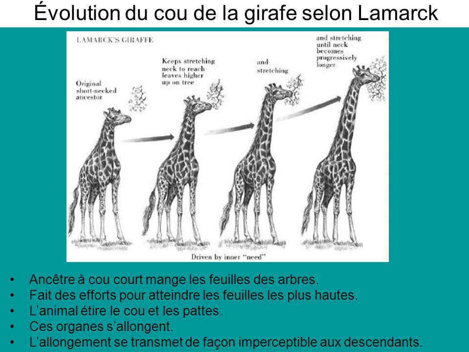 Évolution du cou de la girafe selon Lamarck Ancêtre à cou court mange les feuilles des arbres.